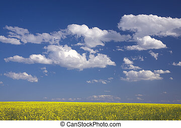 oilseed, feld, raps