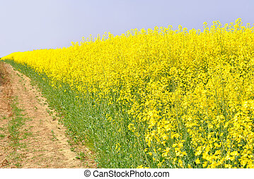 Oilseed field - Field of oil seed rape plants