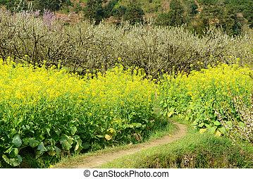 oilseed, printemps, sur, luxuriant, champ