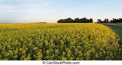 Oilseed rape (Brassica napus) crop in a field, Manitoba,...
