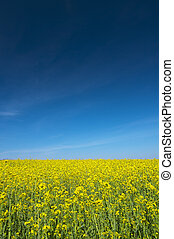 Oilseed rape field against blue sky