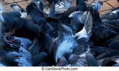 oiseau, animal, pigeons