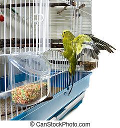 oiseau, canari