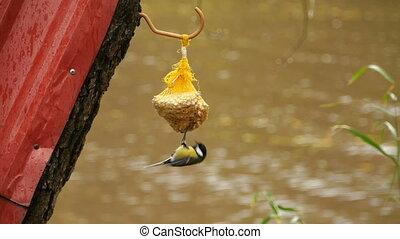 oiseau, mésange, morceau, lard, coups bec