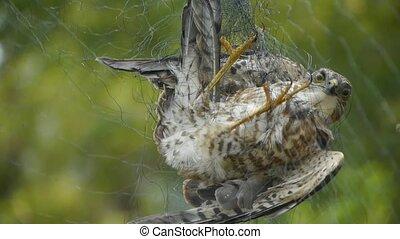 oiseau, piégé, dans, filet