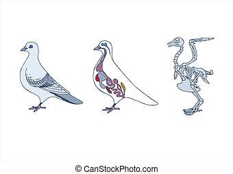 oiseau, pigeon