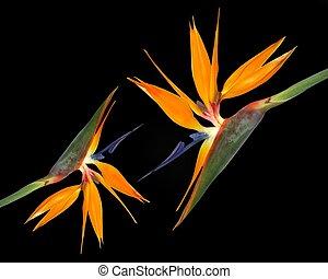 oiseau, strelitzia, paradis