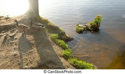 oiseaux, eau, rivière, sauvage, rivage