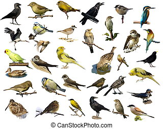 oiseaux, isolé, blanc, (35)
