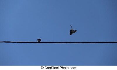 oiseaux, pigeon, voler loin, fil, séance