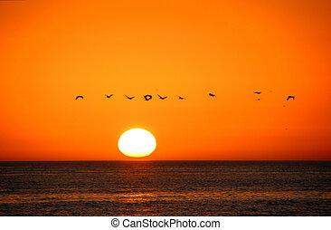 oiseaux, vol, levers de soleil, sanibel ile, floride