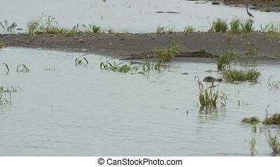 oiseaux, wisirare, réserve, crocodiles, colombie