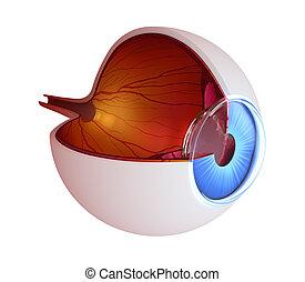 ojo, anatomía, -, interior, estructura