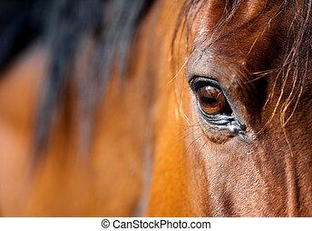 ojo, de, bahía, caballo árabe, primer plano