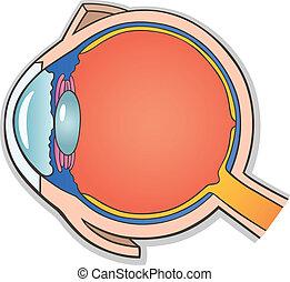 ojo humano, sección transversal