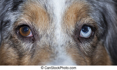 ojos, de, heterocromía, perro, duper