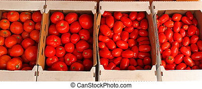 several boxes of freshly picked, savory okanagan valley tomatoes.