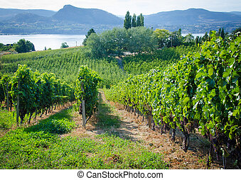 Okanagan Valley Vineyard