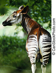 Okapi looking over shoulder - Africa, Zaire, okapi looking...