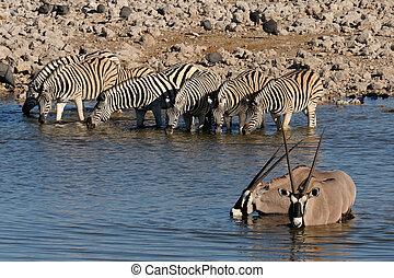 okaukeujo, cebras, oryx, agua, bebida, waterhole