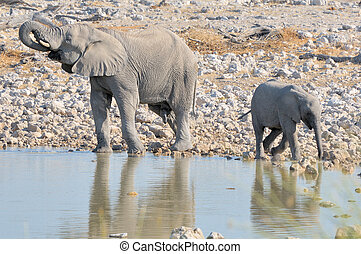 okaukeujo, elefant, broer, kalf, groter