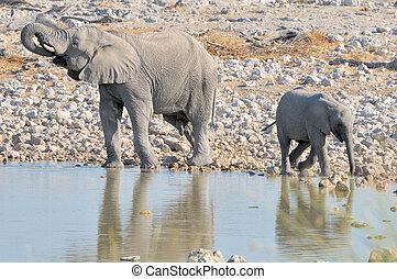 okaukeujo, groter, broer, kalf, elefant