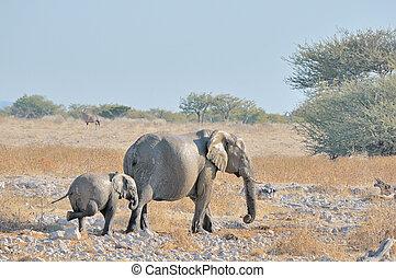 okaukeujo, het krieuwelen, kalf, elefant