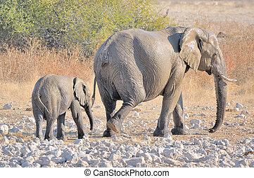okaukeujo, moeder, kalf, elefant