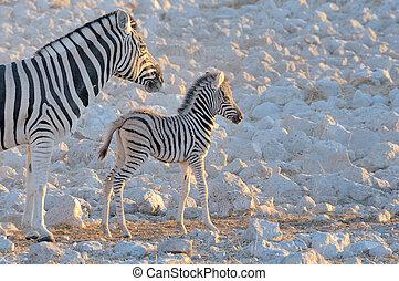 okaukeujo, mutter, fohlen, zebra, waterhole