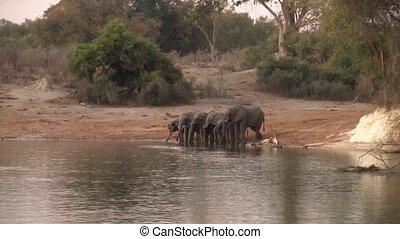 okavango, boire, rivière, éléphants