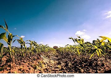 okolica, pole, zbiory