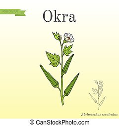 Okra Abelmoschus esculentus , or Lady Finger, or gumbo, food...