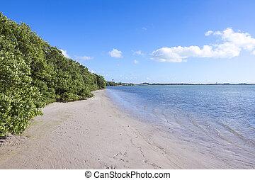 okres, mangrowe, czarnoskóry, niski