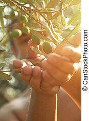 olajbogyó, betakarít, alatt, ősz