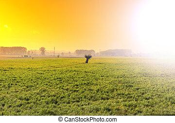 olajbogyó fa, képben látható, a, mező