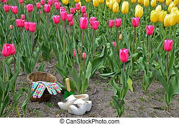 olandese, tulipano, giardino