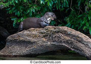 olbrzym, wydra, reputacja, na, kloc, przedimek określony przed rzeczownikami, peruwiański, amazon dżungla, na, madre, od, dios, peru
