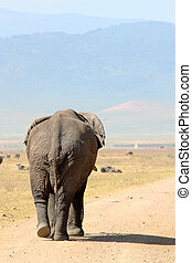 Old african elephant (Loxodonta Africana) walking down a road in Ngorongoro Conservation Area, Tanzania