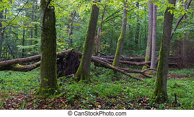 Old alder trees of Bialowieza Forest