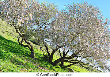 Old almond tree