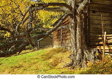 Old and knotty birch in front of log hut in Gallejaur in Norrbotten, Sweden