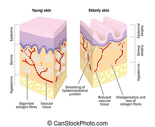 Old and Young Skin - Old and young skin - labeled