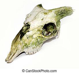 Old animal skull with broken horns against white background