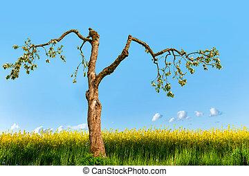 old apple tree in rapeseed field