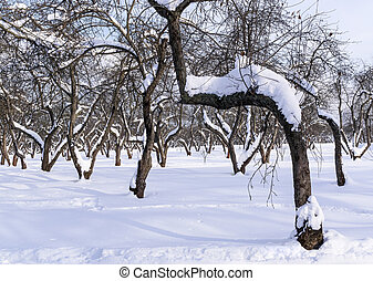 Old apple tree in winter