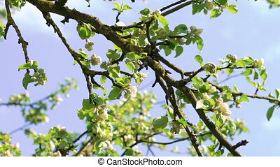 Old apple-tree twigs on sky background