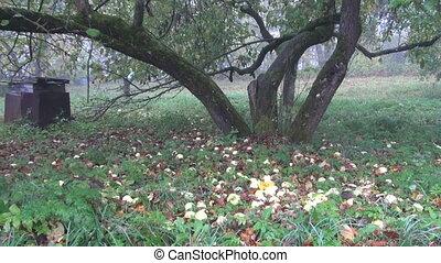 old autumn apple tree trunk