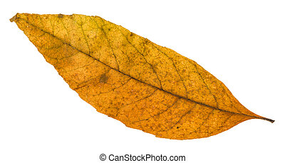 old autumn fallen leaf of ash tree isolated on white...
