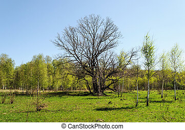 Old bare oak in spring time