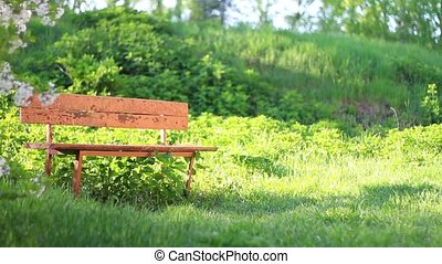 old bench in cherry garden lit by the sun, spring day